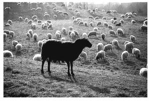 zwart-schaap